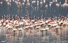 Flamingo11