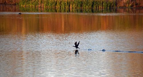 Cormorant Liftoff