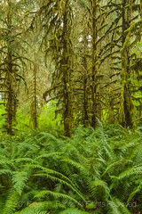 Sitka Spruce and Sword Ferns in Olympic National Park
