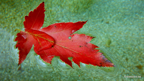 wild service tree leaf