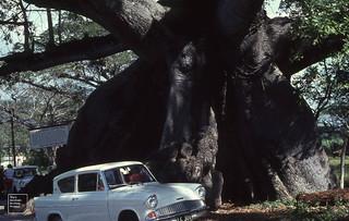 Tom Cringle's cotton tree. Ceiba pentandra. Buttress base
