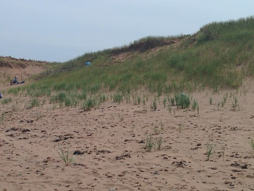 Marram grass, North Rustico Beach #pei #princeedwardisland #northrustico #rustico #beach #marramgrass #latergram