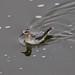 Grey Phalarope (Phalaropus fulicarius)