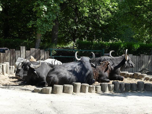 Hauswasserbüffel, Schönbrunn