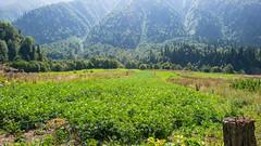 Plantacja ziemniaka we wiosce Zeskho.