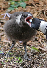 Young Magpie 013
