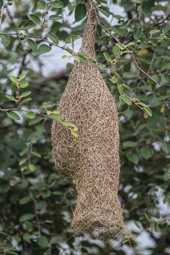 Baya Weaver nest