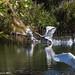 Swans Bedfont Lakes
