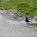Blackbird taking a bath in a puddle