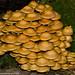 Sheathed Woodtuft Kuehneromyces mutabilis