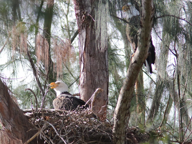 Bald Eagles male on nest 20171016