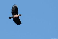 Rubino Lewis's Woodpecker in flight 20171014 Cuyamaca CA Julian CA 126