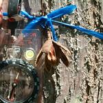 Cedrela odorata seed capsule and bark