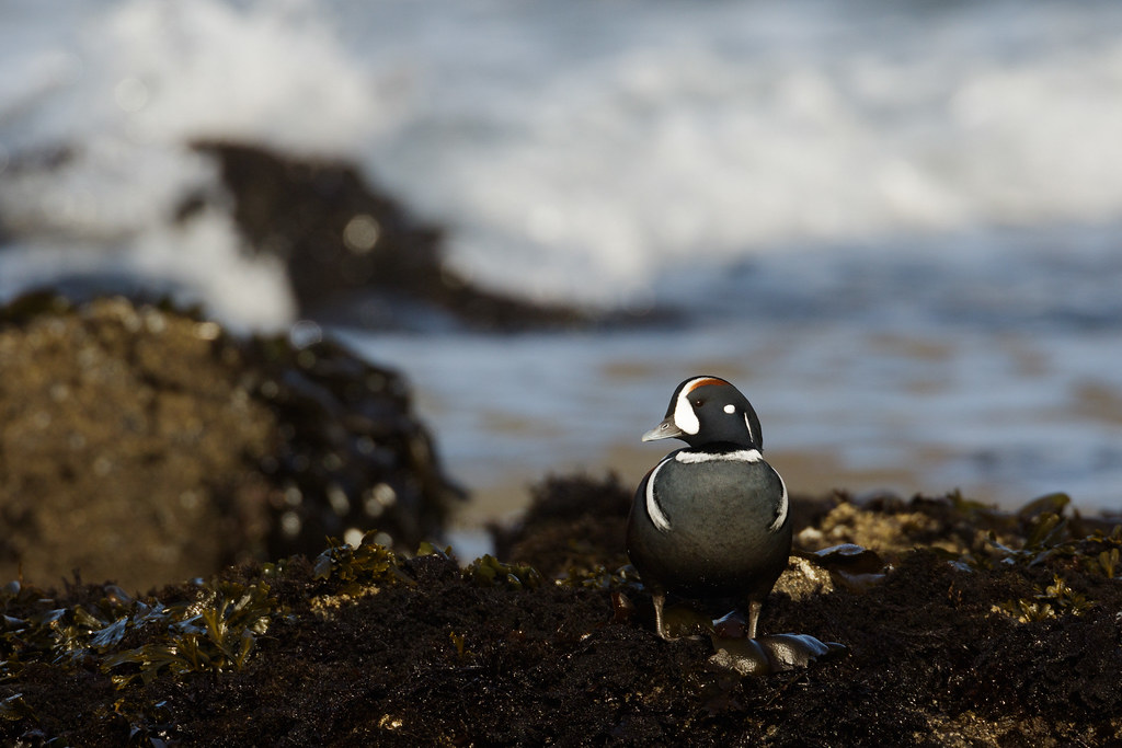 A male harlequin duck stands in a tide pool as the waves come in behind him