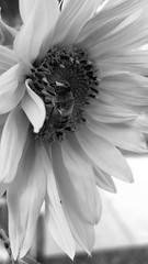 Bee & Sunflower XXV