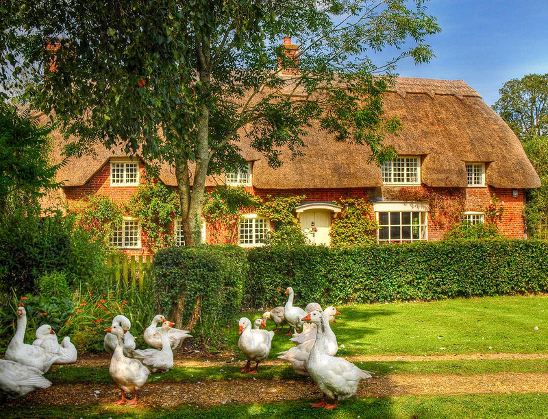 Thatched cottage and geese in the New Forest. Credit Anguskirk, flickr