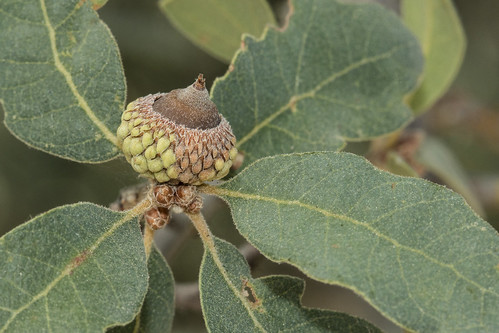 Developing Acorn, Blue Oak