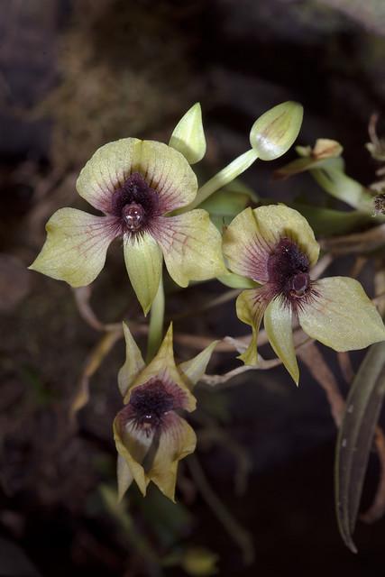 Telipogon latifolium