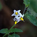 Small photo of American black nightshade Solanum americanum