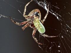 Barn Spider (Neoscona crucifera)