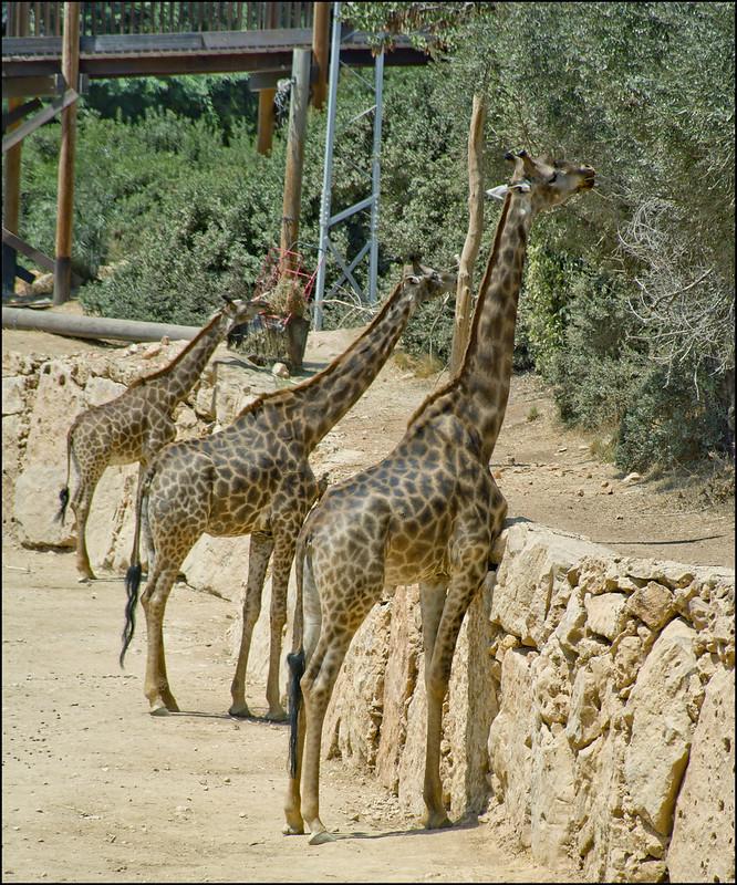 Giraffes in Jerusalem-Biblical-Zoo-IZE-548