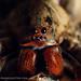 Lycosidae: Lycosa erythrognatha by Techuser