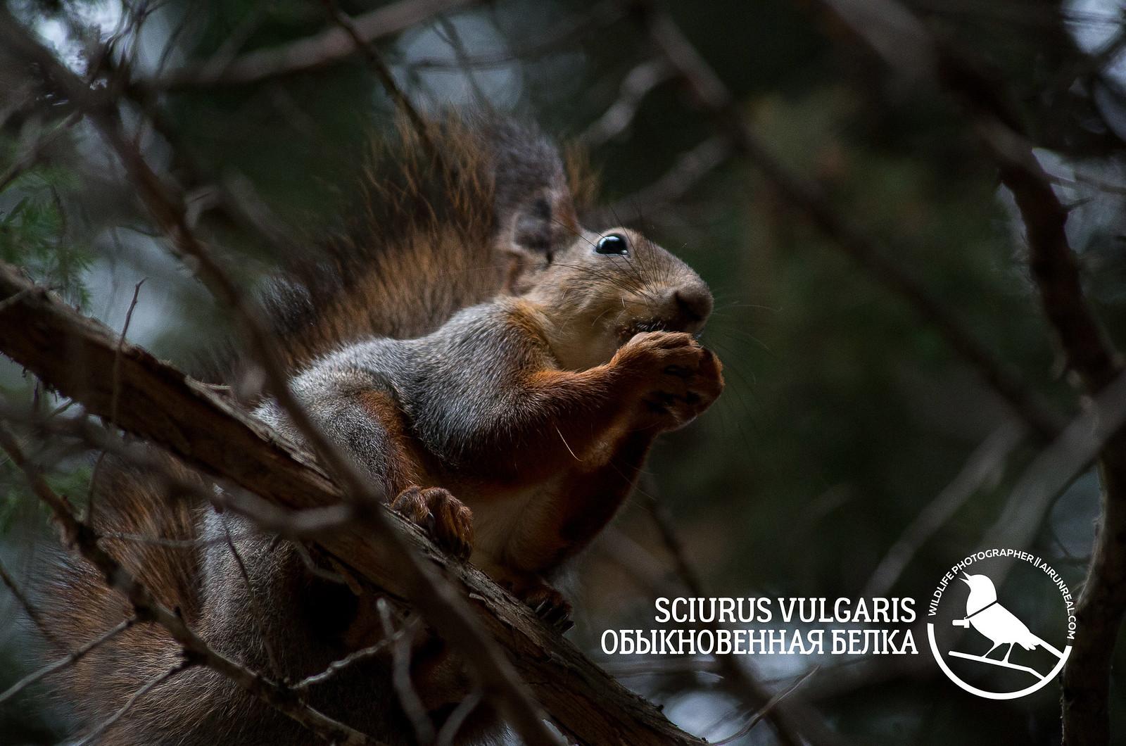 Sciurus vulgaris // 20171025