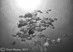 Batfish. Ras Mohammed.01.