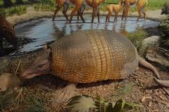 Bradenton, FL - South Florida Museum - Fabulous Florida Fossils - Ancient Armadillo