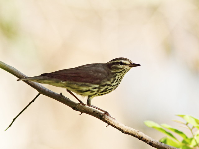 Northern Waterthrush 031-20171015