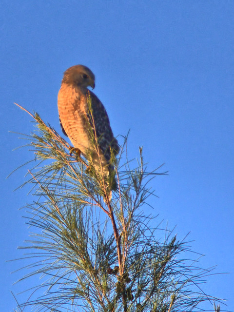 Red-shouldered Hawk 02-20171019