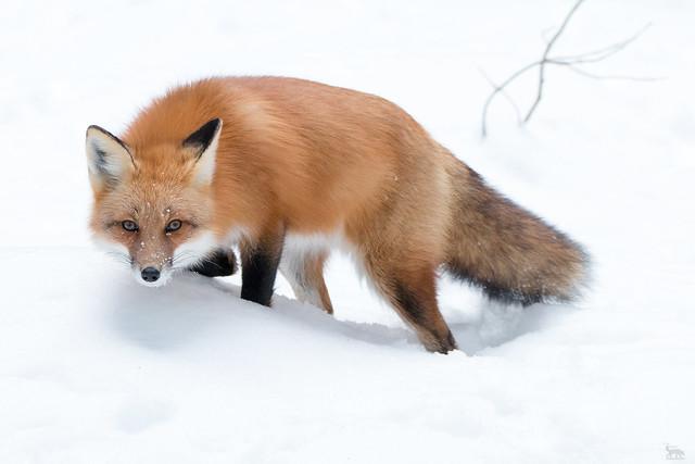 Red Fox winter-2017