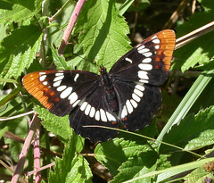 California Sister, Adelpha californica
