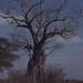 Small photo of Adansonia digitata. Hunters Lodge