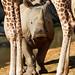 Rhino through Giraffe