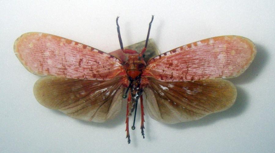 Aphaena submaculata 37547191701_83c724db72_o