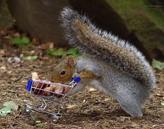 Holdergrey squirrel  with shopping trolley cart  in park autumn. (4)