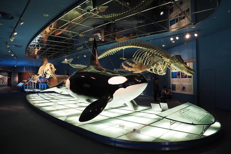 名古屋港水族館シャチ標本