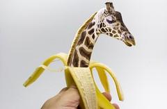 New born baby giraffe from an banana hatched 🍌 [Baby–Giraffe aus einer Banane geschlüpft]