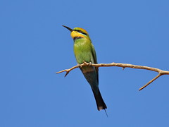 Rainbow Bee-eater  Merops ornatus