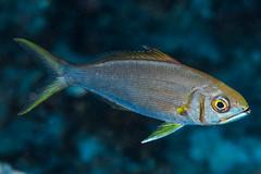 Smalltooth Jobfish, subadult - Aphareus furca