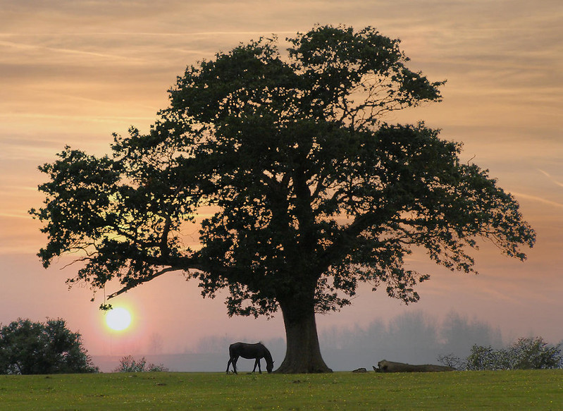 Silhouette of an oak tree at Backley Holmes in the New Forest. Credit JimChampion