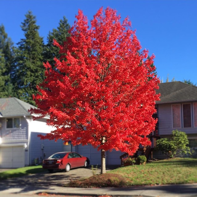 Posting this amazing tree again because I have a crush on it. 🍁