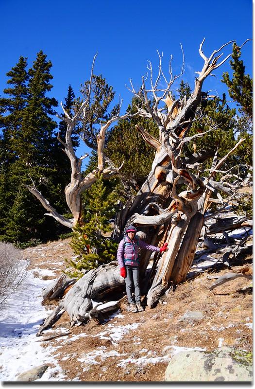 Bristlecone pine (4)