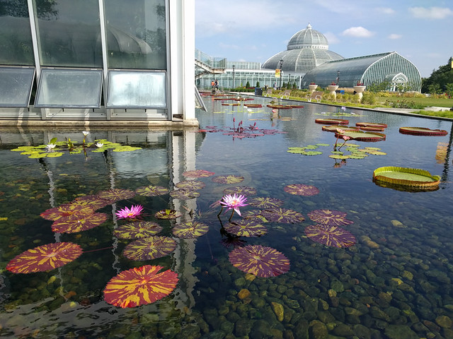 water lily pads @ Como Park Conservatory