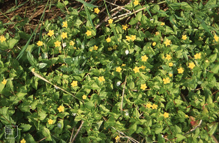 Yellow pimpernel, Bantry Bay, Cork, 1995. Mairead