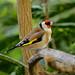 European Goldfinch -------Carduelis carduelis