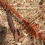 Araucaria bidwillii catkin