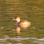 Aves en las lagunas de La Guardia (Toledo) 23/24-9-2017 y 8/10/2017