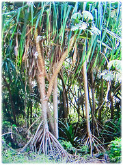 Pandanus tectorius (Tahitian Screwpine, Thatch/Textile Screwpine, Tourist Pineapple, Hala, Screw Pine, Mengkuang Laut/Duri in Malay) is a woody shrub or small tree that grows between 4-14 m tall, 13 Oct 2017